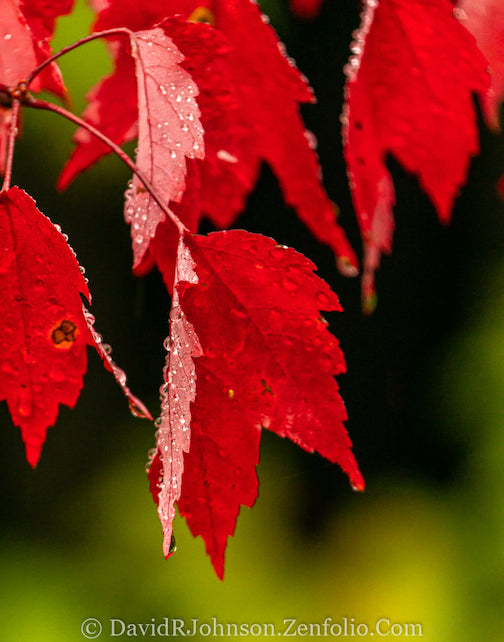 The brightest of reds by David Johnson.