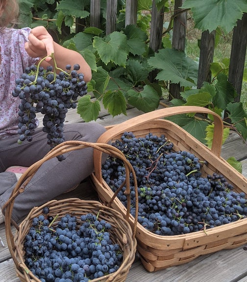 Frontenac grapes will be one of the items available at the Local Food Market this week.