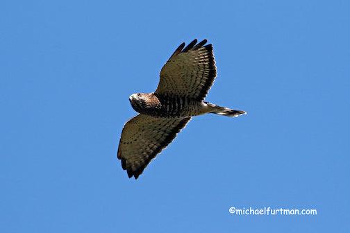 Broadwinged Hawk. Photo by Michael Furtman, taken at Hawk Ridge in Duluth. The bird migrations have started.