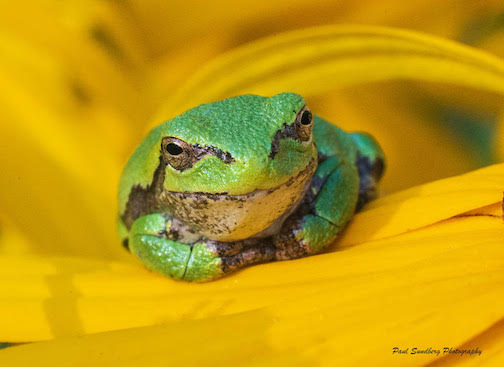 Gray Tree Frog rests on the petals of a flower. Photograph by Paul Sundberg. To see more photographs of these wonderful frogs, click here