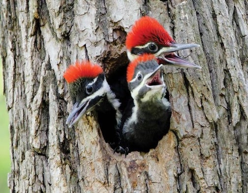 A Pileated family by Tor Torkildson.