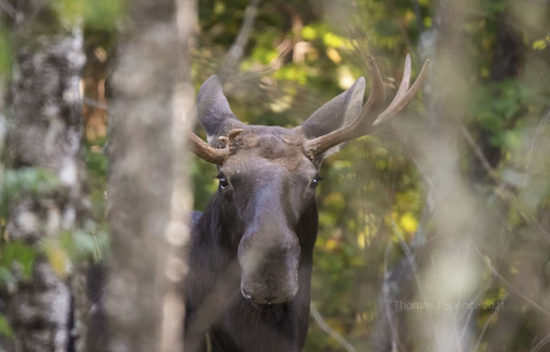 Intense looking fella in the woods of the Superior National Forest this weekend by Tom Spence.