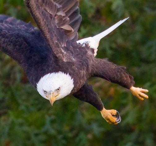 Harry... the bald eagle at the DNR nest near St. Paul. Photo by Bonnie Johnson.
