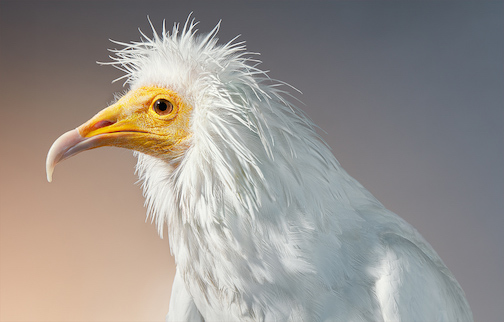 Vivid Portraits by Photographer Tim Flach Frame the Unique Features of Vulnerable Birds. Pictured is an Egyptian Vulture. See more here.