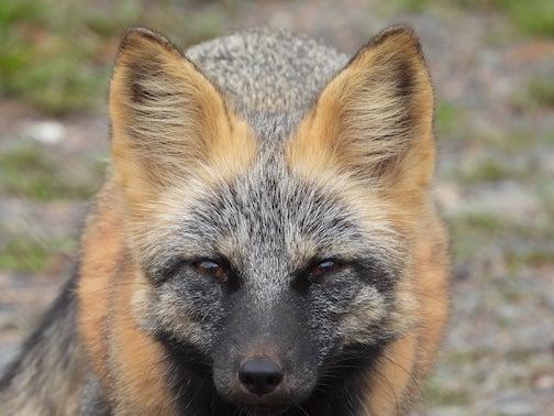 Cross fox by Sarah Hamilton.