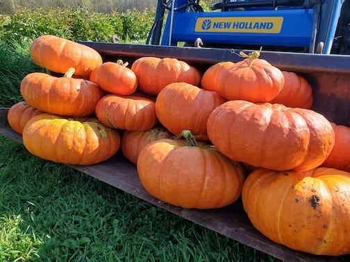 Bumper crop of Cinderella pumpkins by Tom Kasper.