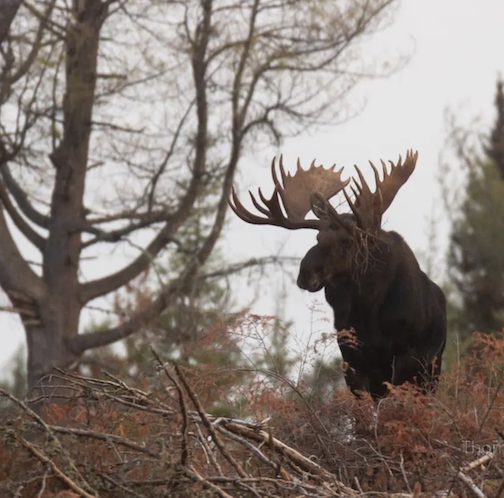 Best bull moose ever, with a little tree stuck in his antlers by Tom Spence.